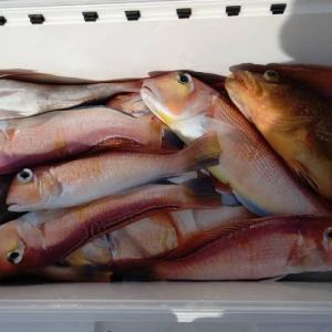 最高級食材の「若狭ぐじ(アカアマダイ)」が福井県で釣れるの知ってた?