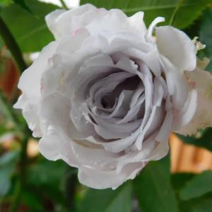 薔薇ガブリエルが開花&今日のポチさん