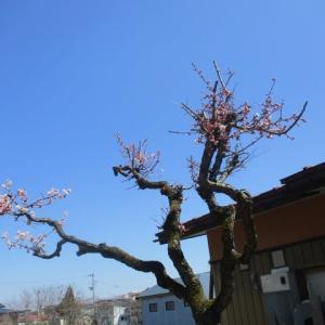 米沢桜情報ナンバー1