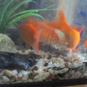 金魚は冬眠する?