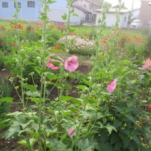 梅雨の花・たち葵
