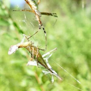 蜘蛛の糸に絡め取られたバッタ