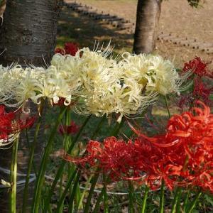 紅白の彼岸花とアゲハチョウ