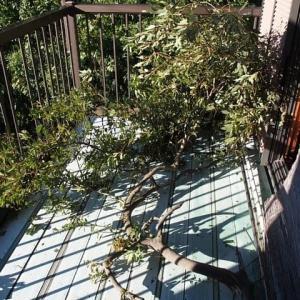 ベランダに大きな木の枝が飛んできた!