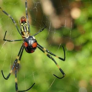 女郎蜘蛛に捕まったテントウ虫
