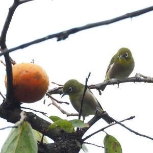 柿の実を啄みに来たメジロ。