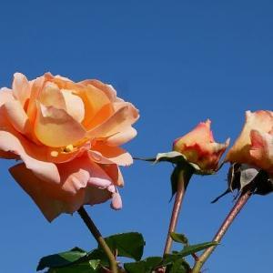 秋日和と秋バラ