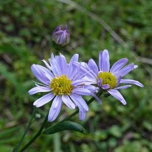 野辺にやさしく咲く野菊の花