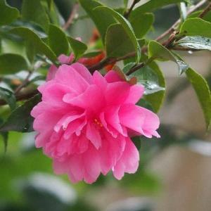 さざんか梅雨と復活して咲いた皇帝ダリア