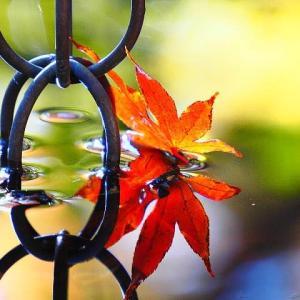 覚園寺~水鉢に浮かぶ紅葉
