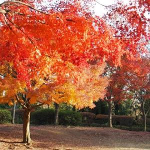 舞岡公園~陽ざしに輝く「照葉」