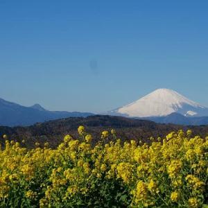 吾妻山公園~菜の花畑越しに観る富士