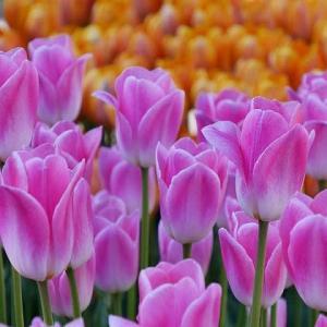 明るい春色!江ノ島のチューリップ♪
