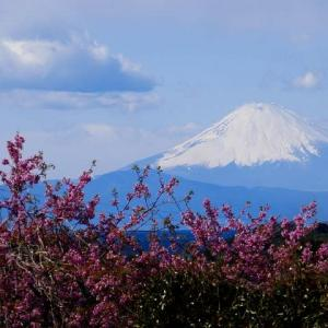 三浦海岸~河津桜越しに観る富士