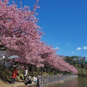 小松ヶ池公園の河津桜と京急電車