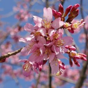 早咲きの桜が咲く散歩道