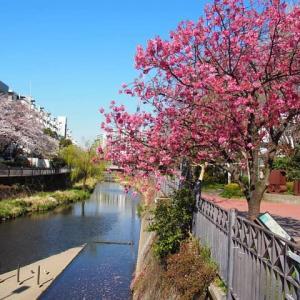 いたち川~桜散歩
