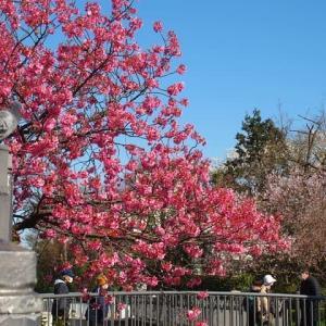 緋桜の花びらと緋鯉の競演