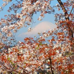 朝日に輝く桜と富士