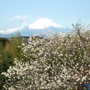 朝散歩で観た桜と富士の風景