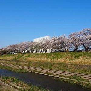 柏尾川~桜花散歩