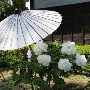 古民家の庭で咲き誇る牡丹の花