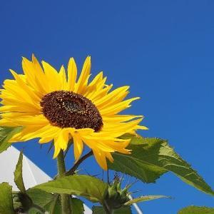 一足先に夏気分!散歩道に咲く向日葵