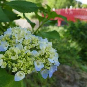 初夏~紫陽花色づく散歩道