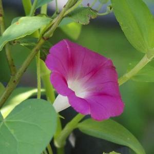 庭で今季初のアサガオが咲いた♪