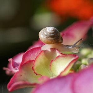 紫陽花と小さなカタツムリ