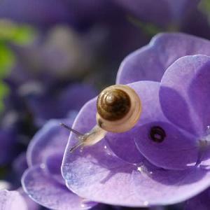 雨に濡れた紫陽花とカタツムリ