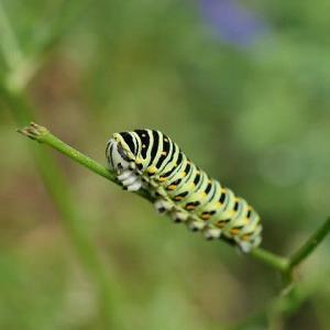庭先で虫探し、キアゲハの幼虫他