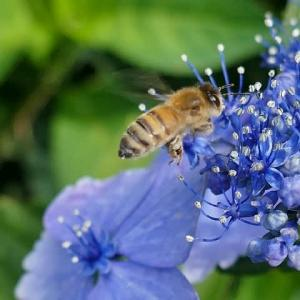 紫陽花とミツバチと小さなバッタ