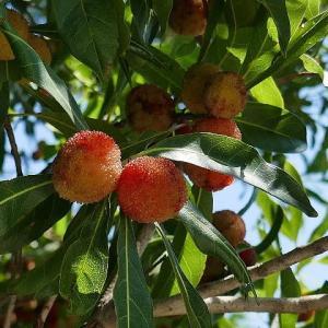 夏の木の実が実る散歩道