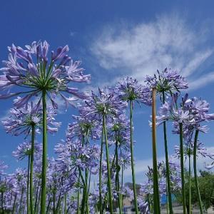 梅雨の晴れ間の夏空に映える花