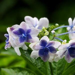 「裕次郎雨」に濡れて咲く庭の花
