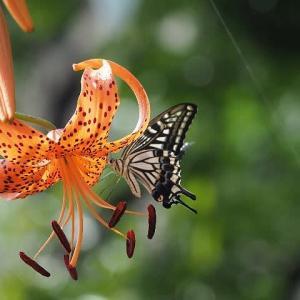 アゲハチョウとクロアゲハ