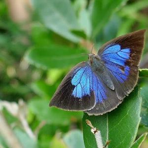 青紫の翅が輝く!ムラサキシジミ