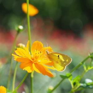 キバナコスモスと蝶とアブ