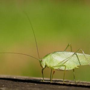 蟋蟀(キリギリス)戸に在り
