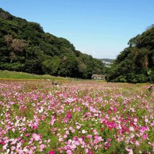 くりはま花の国~100万本の秋桜畑