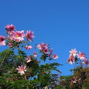 霜月の庭を彩る皇帝ダリアと山茶花
