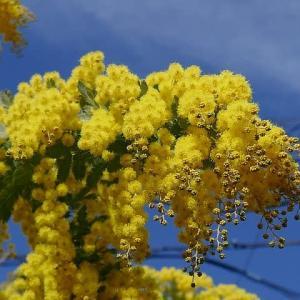 鮮やかな黄色で春を彩る花木