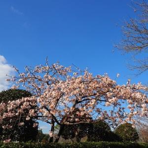 大船フラワーセンターの玉縄桜