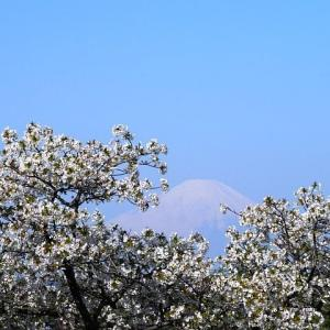 朝散歩で観る白い山桜と富士