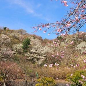 近所の春景色~お花見写ん歩