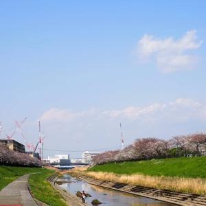 柏尾川プロムナードの桜散歩