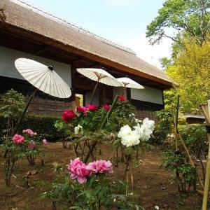 古民家の庭で咲く牡丹の花