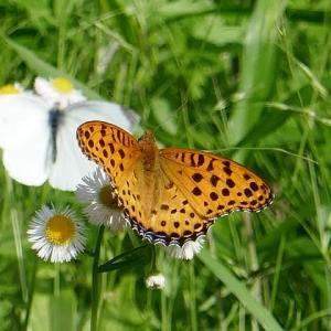 写ん歩で見かけた蝶たち