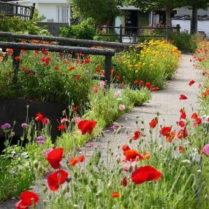 ポピー等の花が咲き乱れる散歩道